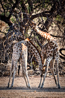"Africa, Bertazzoni, Botswana, Kenya, Namibia, Nikon, ""South Africa"", Tanzania, Zambia, Zimbabwe, color, giraffe, jungle, ""long neck"", neck, pattern, prey, running, safari, savanna, speed, zoo"