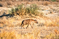 "Africa, Bertazzoni, Botswana, Namibia, Nikon, ""Spotted Hyena"", aggressive, carnivorous, colors, desert, ears, mammals, nature, night, predator, sabres, safari, speed, speed., teeth"