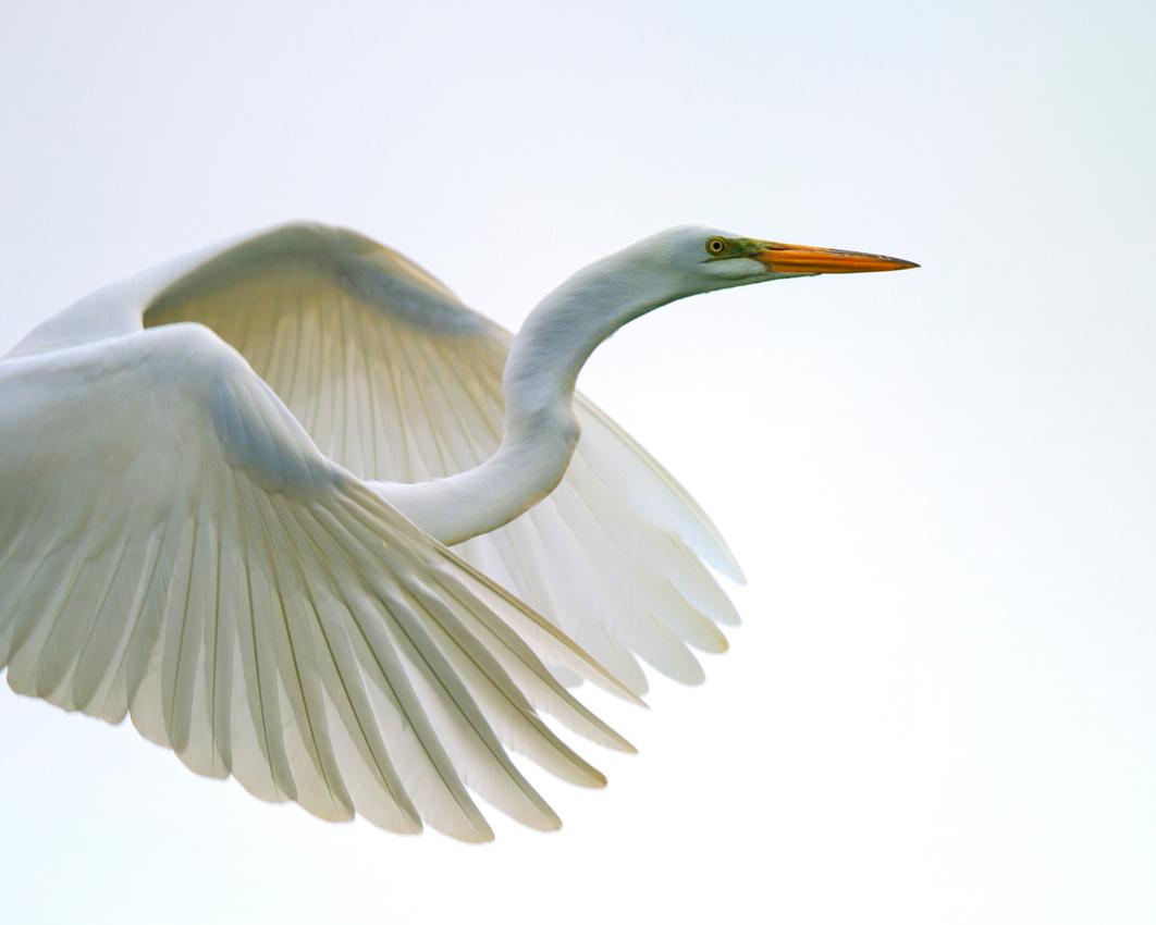 Marco Bertazzoni: Cranes, Egrets, Herons & Storks &emdash; Flying Egret