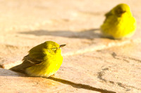 "Tweety, details, shade, sleeping, sunbath, sunlight, ""tellow birds"", winter"
