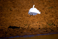 "bird, ""flying bird"", pond, swamp, ""take off"", ""white bird"""