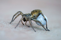 """close up"", insect, legs, poison, spider, ""spider of texas"", venom, ""wolf spider"""