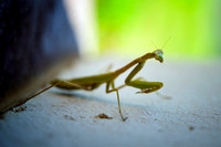 "claws, eyes, garden, insect, macro, ""praying mantis"", predator"