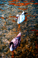 Swans, colors, feathers, lake, migration, pond, water, wings