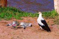 "Africa, ""Palm Nut Vulture"", beak, bird, claws, colors, details,  eagle, eating, feathers, flying, forest, garden, hawk, hunting, jungle, nest, park, posing, predator, prey, resting, safari, savanna, s"