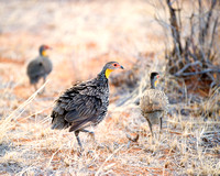 "Africa, Beak, Botswana, Caprivi, Chobe, Kenya, Kenya, Mozambique, Namibia, Savuti, ""South Africa"", Tanzania, Tanzania, ""Yellow Necked Spurfowl"", babies, colors, feathers, fish, fishing, lake, ""long le"