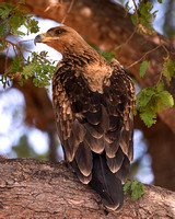 "Africa, ""Spotted Eagle"", beak, bird, claws, colors, details,  eagle, eating, feathers, flying, forest, garden, hawk, hunting, jungle, nest, park, posing, predator, prey, resting, safari, savanna, scen"