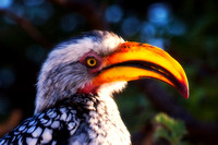 """Southern Red Billed Hornbill"", wings, beak, Africa, feathers, colors, tree, eyes, Namibia, Botswana, Zimbabwe, Zambia, ""South Africa"", feathers"