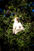 """ velvet monkey"", ape, primate, Africa, safari, savanna, trees, jungle, Botswana, Namibia, Kenya, Tanzania"
