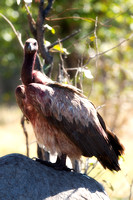 "Africa, African, Botswana, Namibia, South, Zambia, Zimbabwe, beak, bird, bird, colors, eye, feathers, fishing, flying, forest, nature, outdoor, park, resting, safari, savanna, vulture, wings, zoo, ""wh"