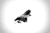 "predator, prey, ""black & white"", hawk, falcon, hunting, hunt, death, nature, birds, sky, feathers, wings, beak, claws"