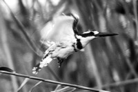 "Africa, Botswana, Namibia, Zambia, Zimbabwe, beak, feathers, fish, fishing, flying, lake, pied kingfisher, pond, river, safari, swamp, wings, ""PIED KINGFISHER"", ""BLACK & WHITE"", ARTISTIC,"