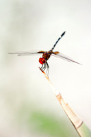 artistic, bertazzoni, dragonfly, insect, macro, movement, nature, scenic, wings