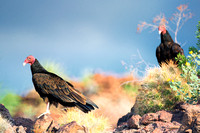 Beak, Bertazzoni, Mexico, Nikon, Texas, Wings, death, eyes, feathers, flying, legs, nature, scavengers, turkey vulture, vulture, wilderness