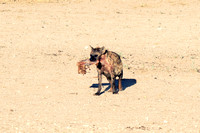 "Africa, predator, Namibia, desert, Botswana, safari, teeth, sabres, colors, nature, carnivorous, Nikon, Bertazzoni, mammals, night, ears, speed, aggressive, speed. ""Spotted Hyena"""