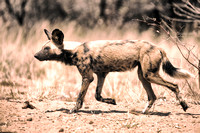 "Africa, Bertazzoni, Botswana, Namibia, Nikon, aggressive, ""Wild Dog"", carnivorous, colors, desert, ears, mammals, nature, night, predator, sabres, safari, speed, speed., teeth"