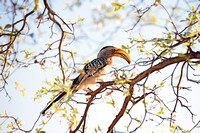 "Africa, Botswana, Namibia, ""South Africa"", ""Southern Red Billed Hornbill"", Zambia, Zimbabwe, beak, colors, eyes, feathers, feathers, tree, wings"