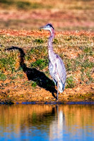 "Bertazzoni, Nikon, Texas, bird, ""black & white"", feathers, fishing, ""great Blue Heron"", lake, migration, nature, park, peak, pond, swamp, ""wading bird"", wildlife, wings"