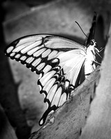 "Butterfly, Details, Flower, Structure, Wings, bertazzoni, insect, nature, nectar, pupa, spring, summer, yard, ""swallowtail butterfly"", Nikon, yard, Texas, ""black & white"""