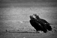 "Beak, Bertazzoni, Mexico, Nikon, Texas, Wings, ""black & white"", death, eyes, feathers, flying, legs, nature, scavengers, ""turkey vulture"", vulture, wilderness"