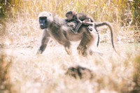 "Africa, Bertazzoni, Botswana, Kenya, Namibia, Nikon, Tanzania, Tarzan, Zambia, Zimbabwe, ape, baboons, ""black & white"", grooming, jungle, monkey, primate, safari, savanna, teeth, trees"
