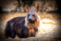 "Africa, Bertazzoni, Botswana, Namibia, Nikon, ""Wild Dog"", aggressive, carnivorous, colors, desert, ears, mammals, nature, night, predator, sabres, safari, speed, speed., teeth"
