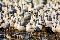 "Bertazzoni, ""Canadian Geese"", Nikon, ""North Texas"", ""Snow Geese"", Texas, beak, colors, cooking, feathers, flying, food, geese, lakes, migration, nature, ponds, swamps, wings, ""american Coot"""