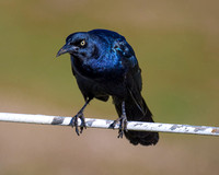 "Bertazzoni, Nikon, Texas, beak, colors, ""common grackle"", details, eye, feathers, nature, sky, wildlife, wings, beak, legs, flying, Texas, eyes,"