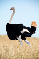 "Africa, Botswana, Kenya, Namibia, Ostriches, Tanzania, egg, feathers, leather, ""long legs"", beak, claw, speed, ostrich, running, ""running ostrich"", Nikon, Bertazzoni"