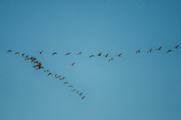 "sky, geese,""sky scape"", scenic, nature, Nikon, Bertazzoni, wings, migration,"