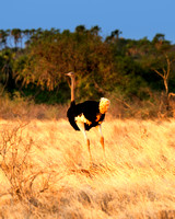 Africa, Botswana, Kenya, Namibia, Ostriches, Tanzania, beak, claw, egg, feathers, leather, legs, long, ostrich, ostrich, running, running, speed
