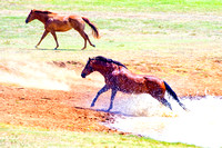 pack, horses, paint, quarter, appaloosa, pinto, palomino, prairie, pond, nature, wilderness, freedom, running, speed, tail, main, hoofs, races, saddle, bridle, bit, bertazzoni, Nikon