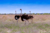 "ostrich, "" running ostrich"", egg, Africa, leather, feathers, running, Namibia, Kenya, Tanzania, Botswana, "" long legs, beak, claw, speed,"