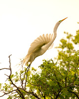 "Bertazzoni, Jamaica, Nikon, artistic, beak, colors, feathers, fishing, ""flying egret"", heron, legs, migration, nature, panning, pond, safari, swamp, ""white egret"", nesting, parade"