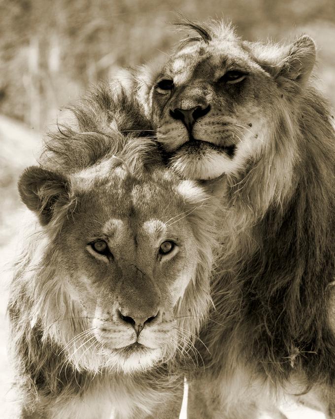 Marco Bertazzoni: Lions &emdash; Brothers