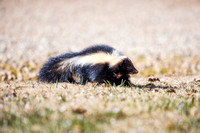 "Bertazzoni, Nikon, Squirrel, bokeh, branches, eyes, forest, ""ground Squirrel"", jumping, nature, nut, park, pecan, sky, tail, tree, woodland, yard, skunk"